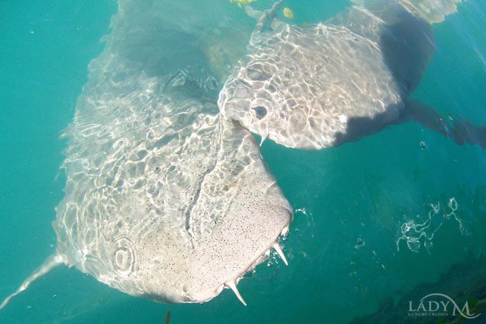 Curious lemon sharks