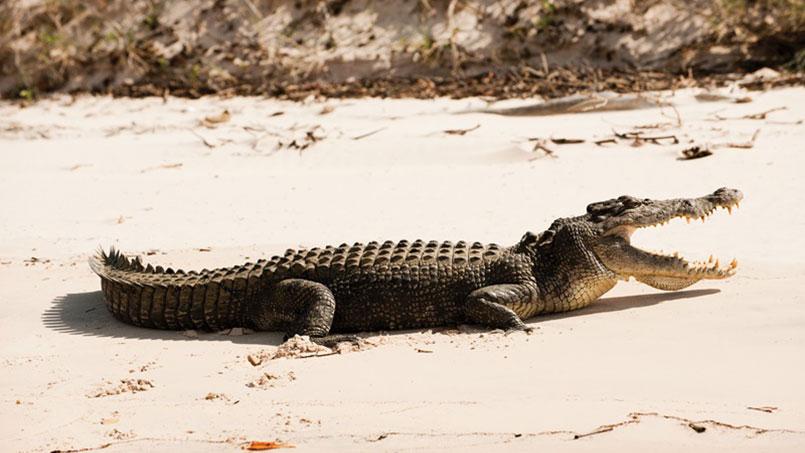 Kimberley Quest crocodile