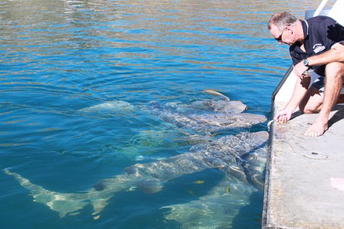 Feeding sharks Talbot Bay