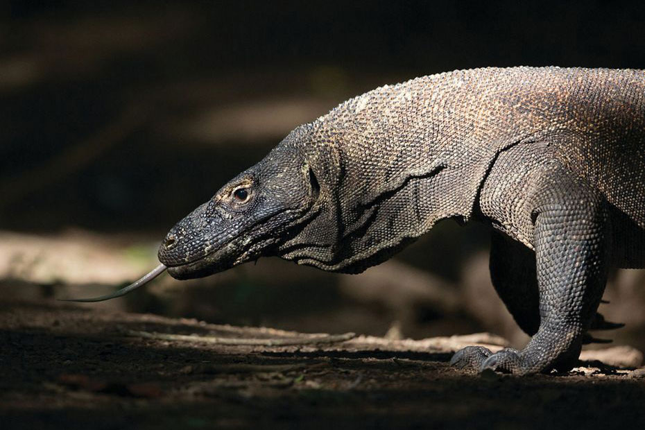 Silversea Komodo Dragon